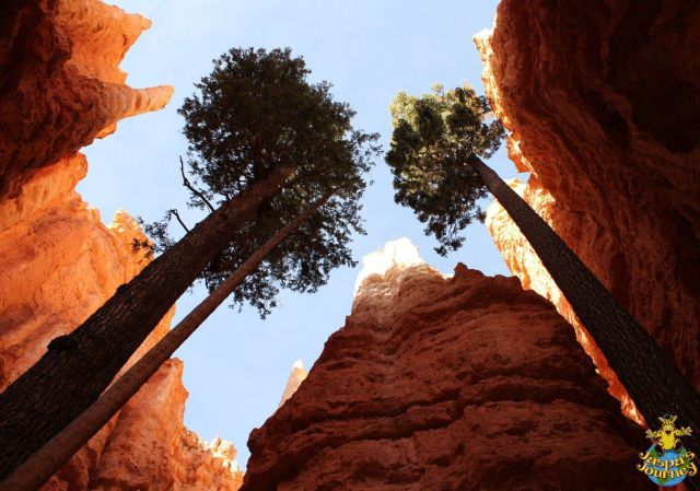 Redwoods and hoodoos, the Amphitheatre, Bryce Canyon National Park